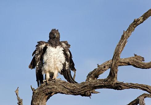 Uganda - Marshal Eagle perched - 1.jpg
