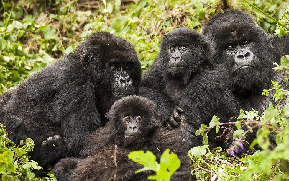 Uganda - Mountain Gorilla Family (1).jpg