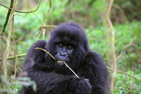 Uganda - Gorilla Trekking 1.JPG