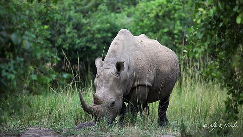 Uganda - Ziwa Rhino Sanctuary - Kori.jpg