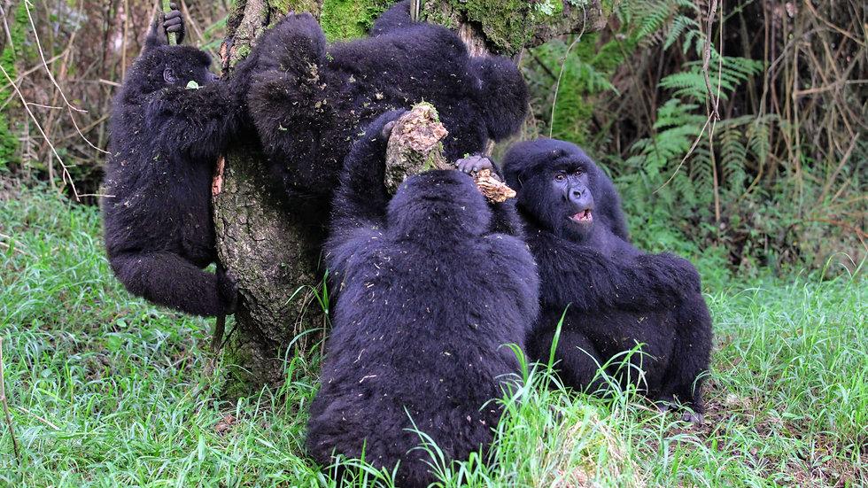 Rwanda - Gorilla Trekking Family.JPG