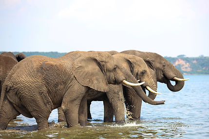 Uganda Presentation - Elephants in the Kazinga Channel.jpg