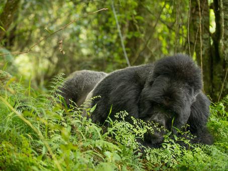 Gorilla Trekking in the COVID-19 era