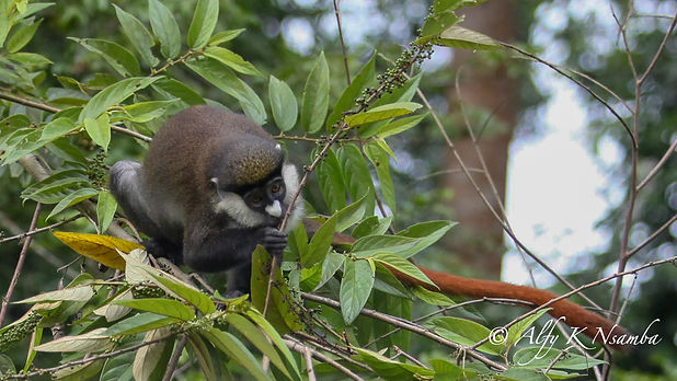 Uganda - Red Tailed Monkey eating.jpg