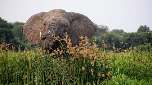 Uganda - Elephant Eating.JPG