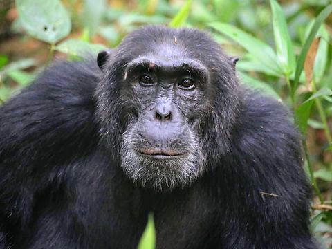 Rwanda - Chimpanzee Stare.JPG