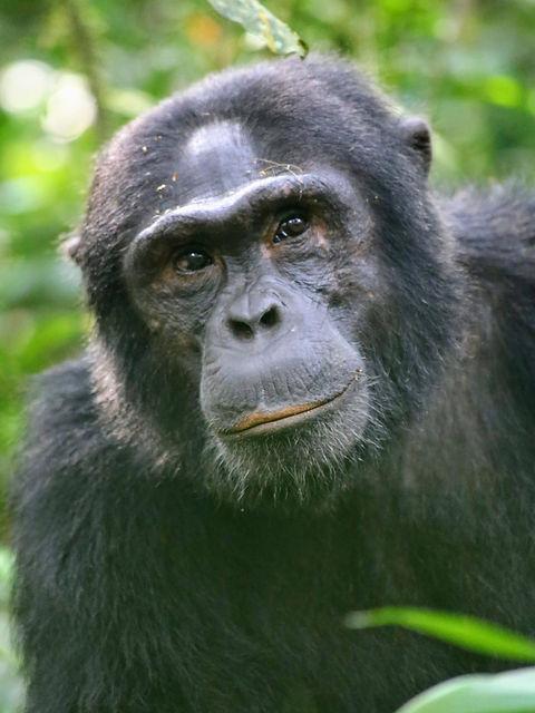 Rwanda - Chimpanzee Looking ahead.JPG