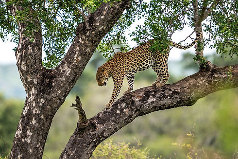Uganda - Leopard in Murchison Falls  (1)
