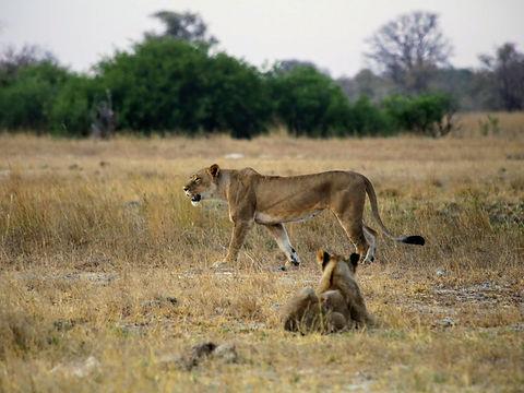 Rwanda - Lions Relaxing.JPG