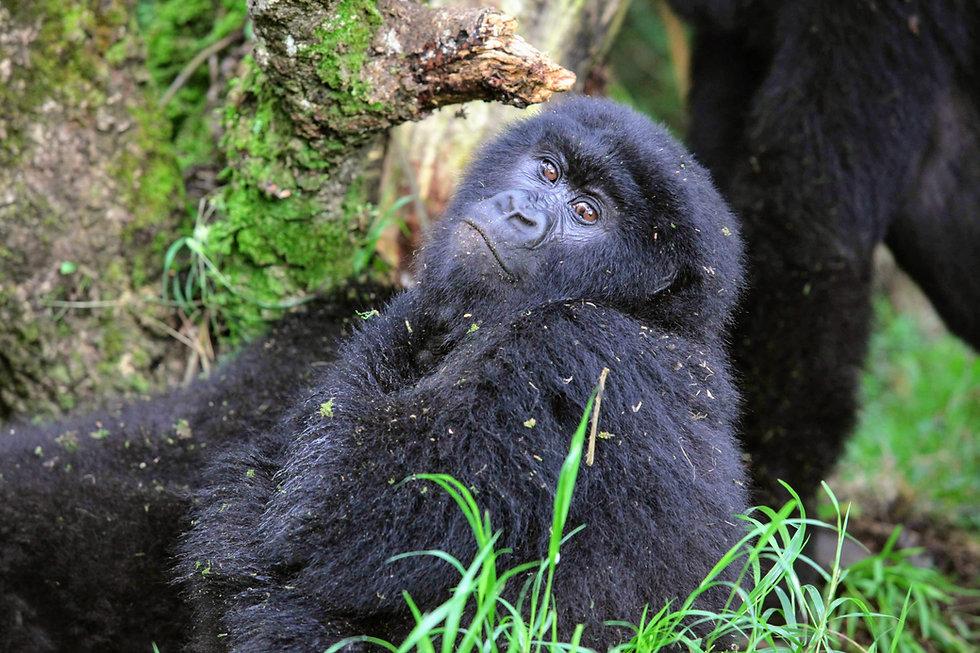 Rwanda - Mountain Gorilla Stare.JPG