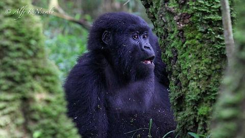 Uganda - Gorilla through the trees.JPG