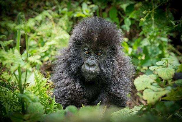 Uganda - Baby Mountain Gorilla (1).jpg