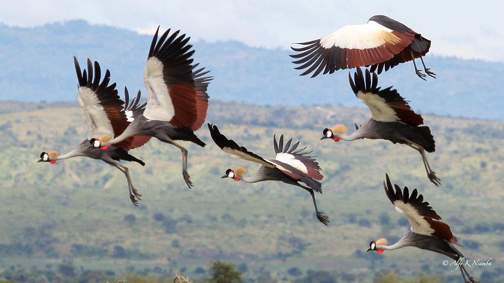 Uganda - Grey Crowned Cranes Flying.jpg