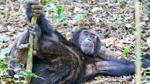 Uganda - Chimpanzee Relaxing.jpg