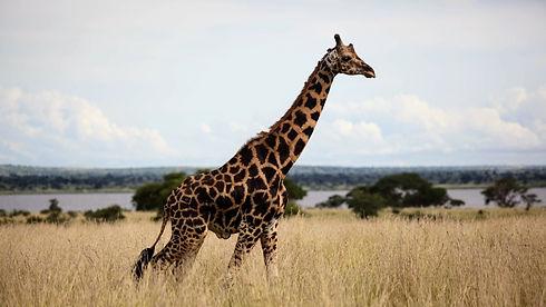 Uganda - Giraffe.JPG