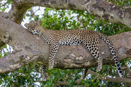 Leopard in a tree 2 (1).jpeg