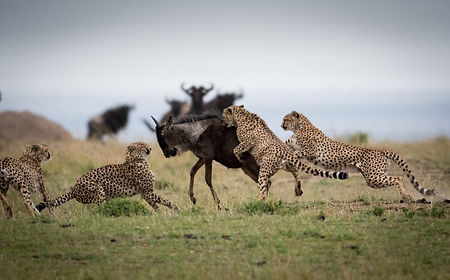 Cheetahs Hunting (1).jpeg
