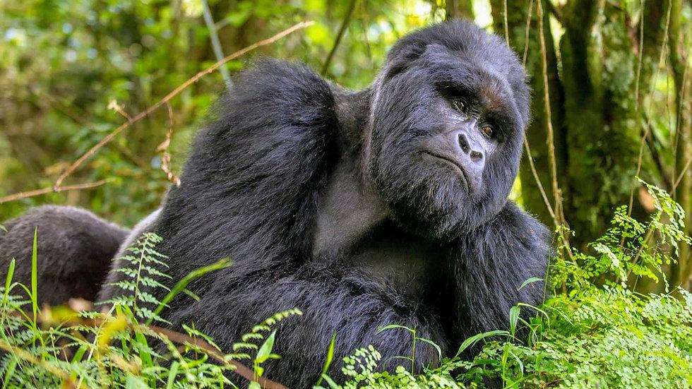 Uganda - Silverboack MNP_edited.jpg