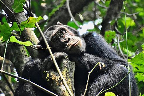 Uganda - Chimpanzee Trekking in Kalinzu