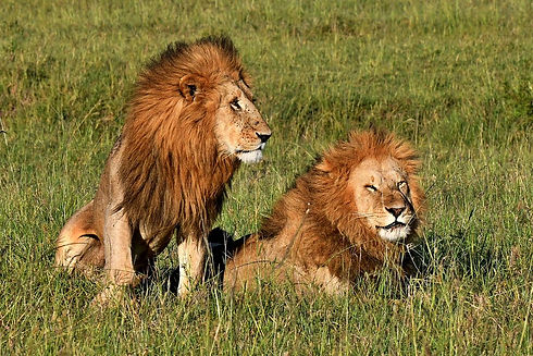 Male Lions in the savannah (1).jpg