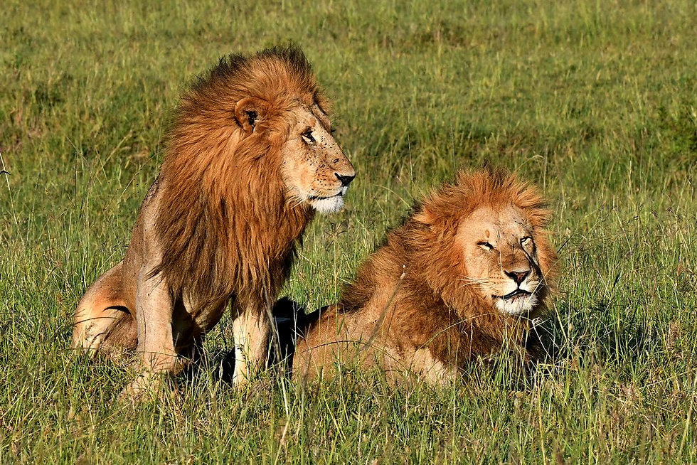 Male Lions in the savannah (1).jpg