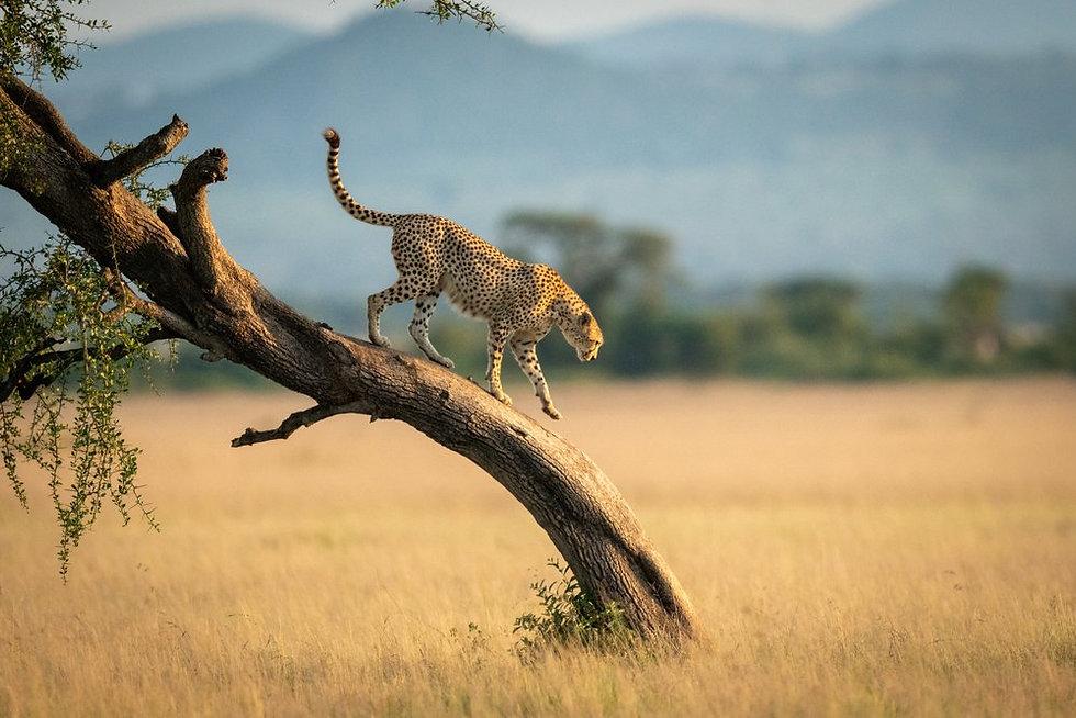 Cheetah in a tree (1).jpeg