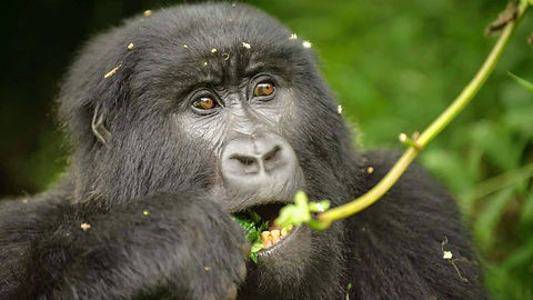 Uganda - Gorilla Female Eating.jpg