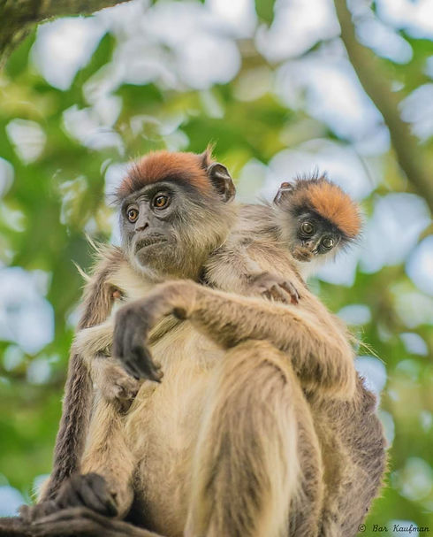 Uganda - Red Colubus Monkey.jpg