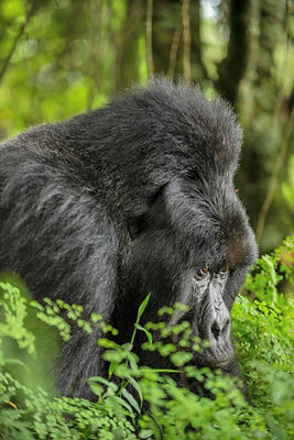 Rwanda - Silverback Gorilla Gaze.jpg