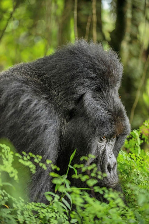 Uganda - Silverback Gorilla Gaze.jpg