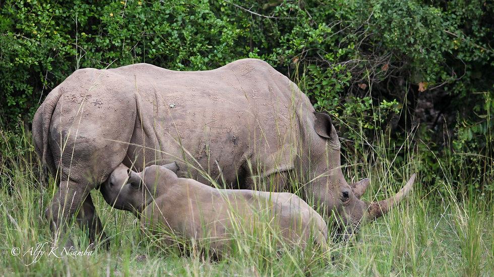 Uganda - Ziwa Rhino Sanctuary Baby Rhino