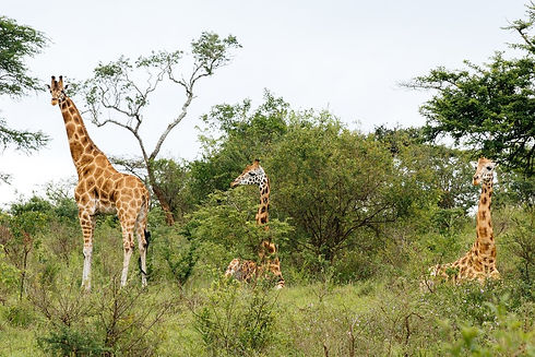 Uganda - Giraffe Sitting in Lake Mburo.J