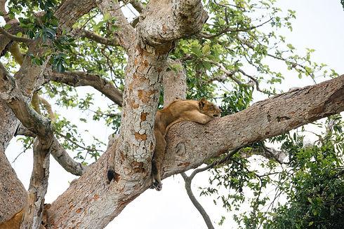 Uganda - Tree Climbing Lion 1.JPG