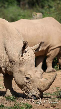 Uganda - Rhino at UWEC.jpg
