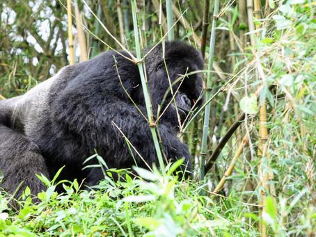 Primate Parks Reopen in Uganda