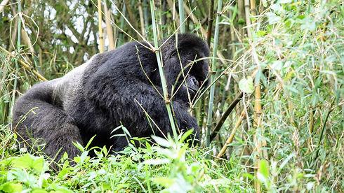 Uganda - Mountina Gorilla in Mgahinga Na