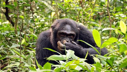 Uganda - Chimpanzee nose picking.jpg