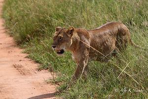 Uganda - Lion in Murchison Falls Nationa