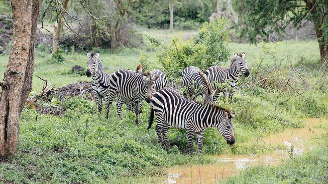 Uganda - Zebras in LMNP-min.JPG