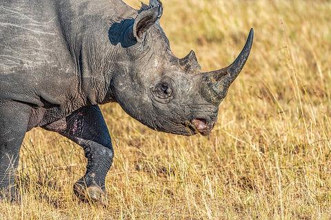 Rwanda - Black Rhino in Akagera National