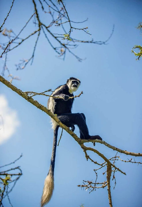 Uganda - Colubus Monkey.jpg