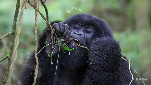 Uganda - Gorilla Eating a Vine.jpg