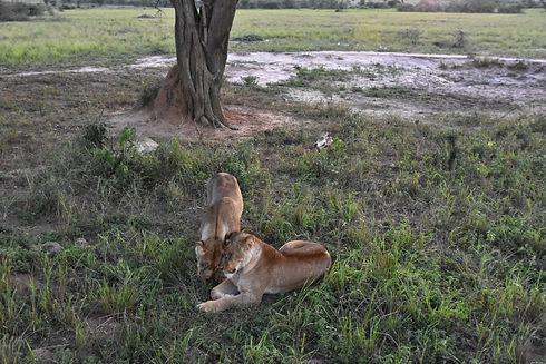 Uganda - Lions in Murchison Falls.jpg