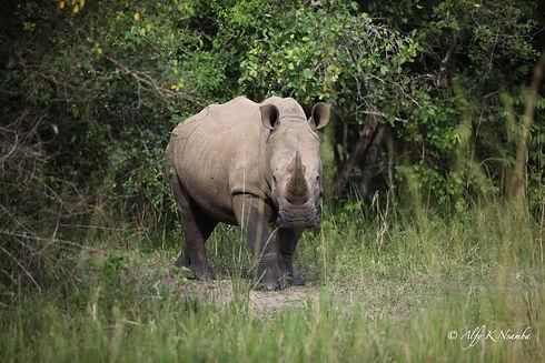 Uganda - Adolescent Rhino.jpg