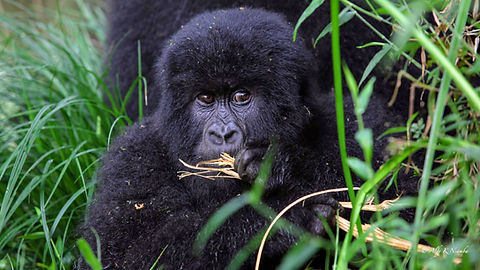 Rwanda - Baby Gorilla.jpg