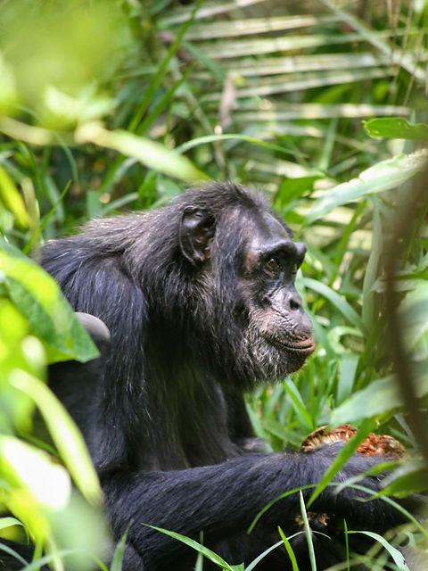 Rwanda - Chimpanzee alone.JPG