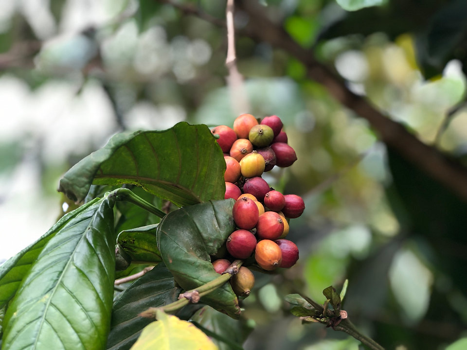 Uganda - Coffee Cherries.JPG