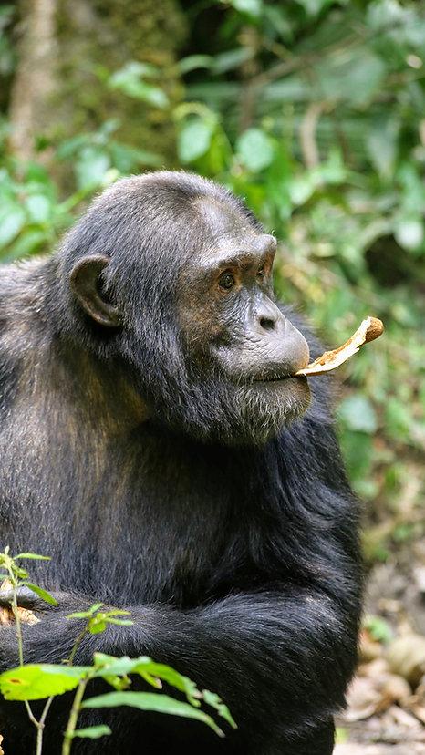 Uganda - Chimpanzee eating bread fruit.J