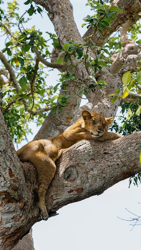 Uganda - Baby Tree climbnig Lion asleep.