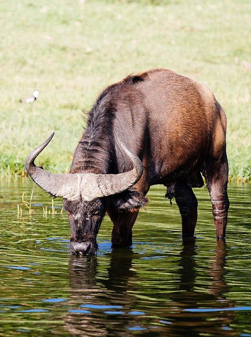 Uganda - Buffalo Drinking Water_edited.jpg